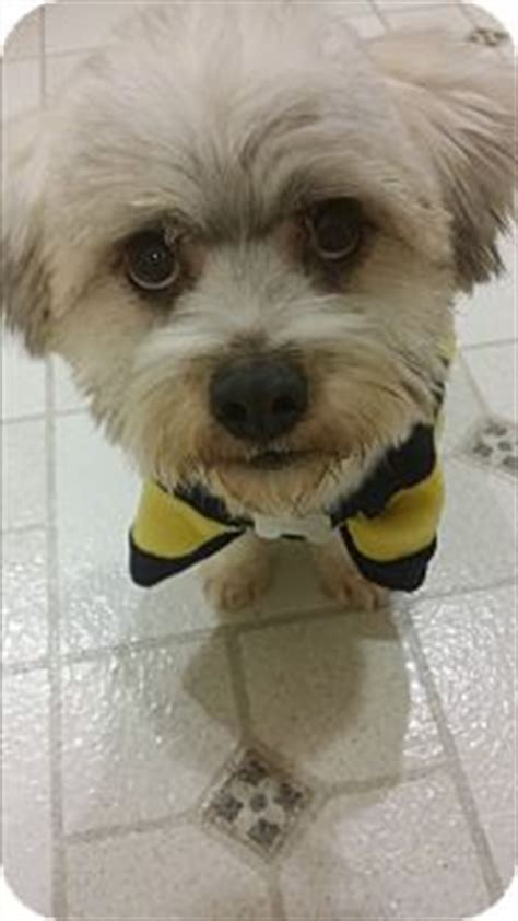 havanese lhasa apso buena park ca havanese lhasa apso mix meet a for adoption