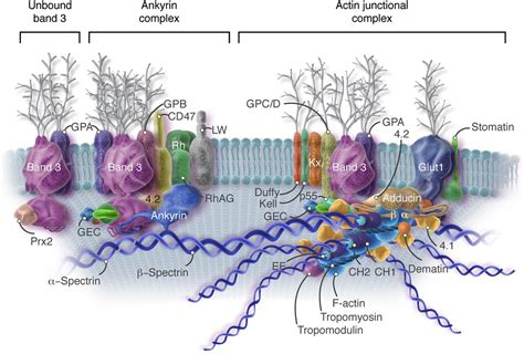 3 proteins in the cell membrane anatomy of the cell membrane skeleton unanswered