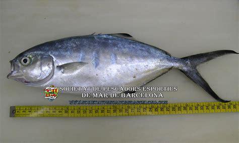 trachinotus ovatus 16 hermoso cocinar palometa galer 237 a de im 225 genes la