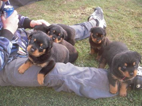 rottweiler puppies for sale in harrisburg pa rottweiler puppies looking for a home breeds picture