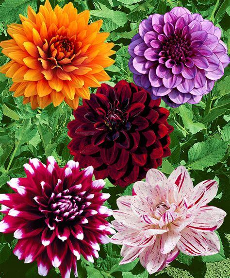 fiori dalia acquista dalie in mix bakker