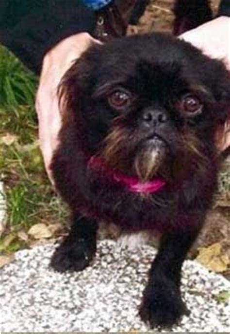 brussels griffon pug mix couture poodle pitbull mix breeds picture