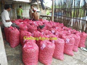 Bibit Bawang Merah Jogja jual bawang merah nganjuk home