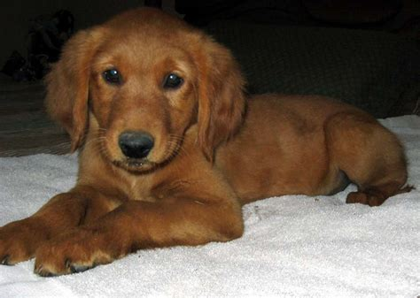 breeders net golden retrievers golden retriever dogs and puppies puppy litle pups