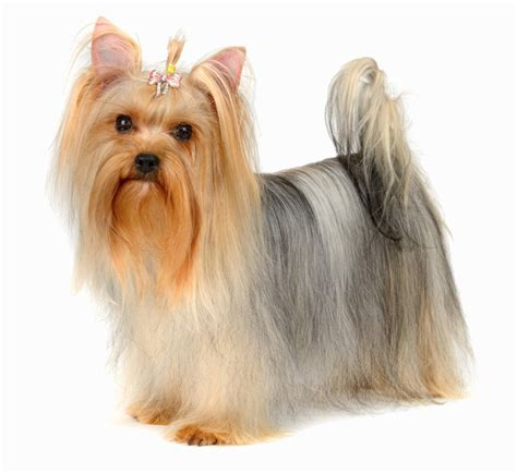 cut yorkie the yorkie coat facts care grooming haircut styles