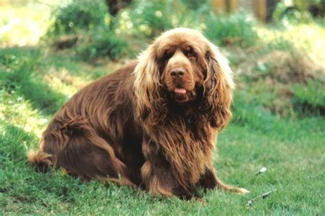 sussex spaniel puppies sussex spaniel puppies for sale from reputable breeders