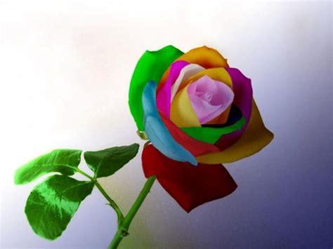 imagenes rosas color las fotos mas alucinantes rosas de colores