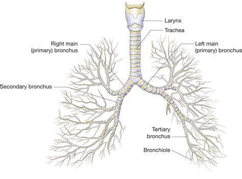 diagram of bronchioles bronchi