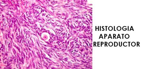 vestibulo anatomia femenina histologia y anatomia de los organos externos del sistema