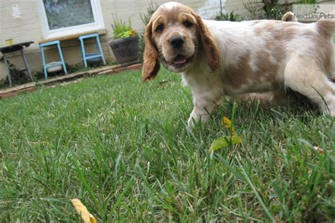 akc puppy classes near me springer spaniel puppy for sale near greenville upstate south carolina