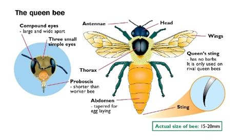 bumble bee diagram bee diagram pictures to pin on pinsdaddy