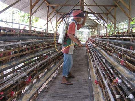 Bibit Ternak Ayam Petelur tahapan memulai peternakan ayam petelur ternak pertama