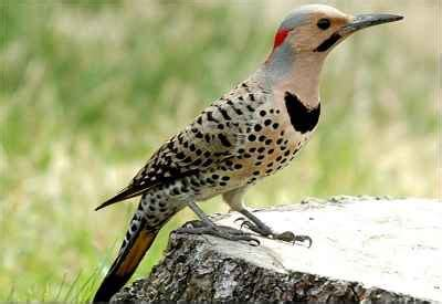 pictures of birds in alabama alabama state bird yellowhammer northern flicker