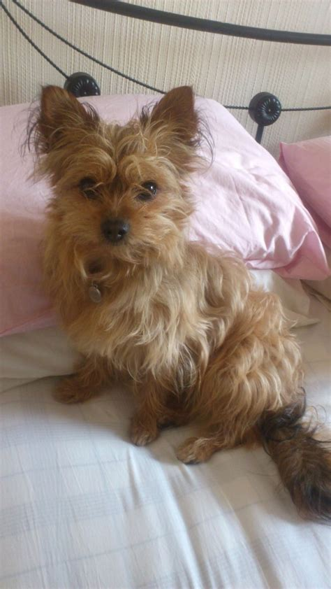cute chorkie puppy haircuts cute chorkie baby playing o chorkies pinterest