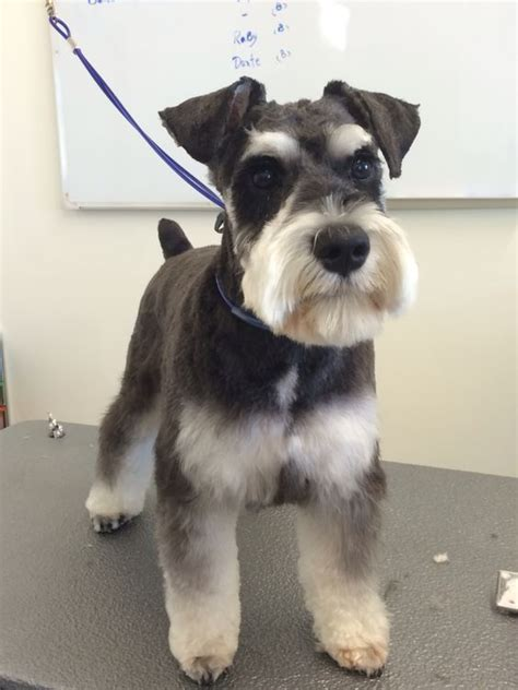 different haircuts for a miniature schnauzer schnauzers anna and bananas on pinterest