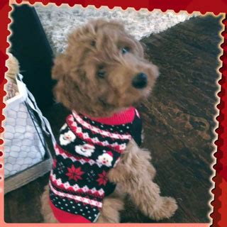 goldendoodle puppies for sale in houston tx australian labradoodle puppies for sale breeders mudcreek