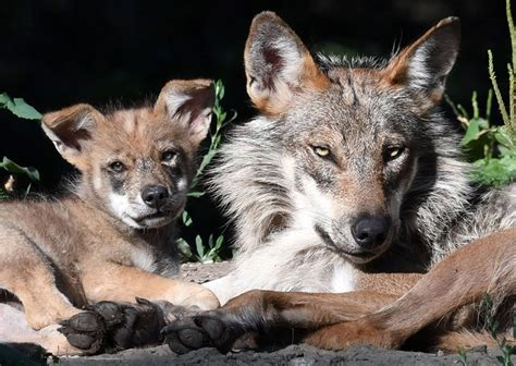 grey puppy names chicago zoological society brookfield zoo announces names of mexican gray wolf puppies