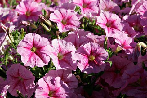 file pink petunias jpg wikipedia