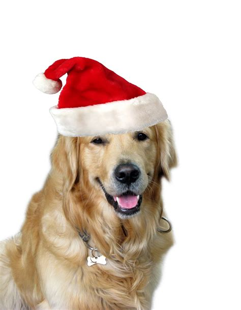 christmas dog santa hat free stock photo public domain pictures