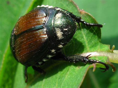 the joyce road neighborhood return of the japanese beetles