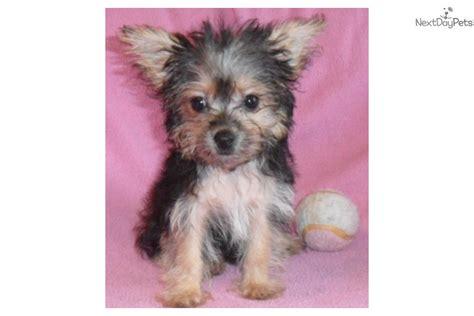 tiny yorkie poos meet tiny tina a yorkiepoo yorkie poo puppy for sale for 500 tiny tina