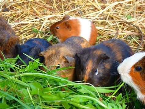 Sisir Greyhound merawat guinea pig hewan indonesia dan jual beli