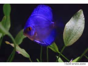 Purple Discus Fish Super Blue Purple Discus i