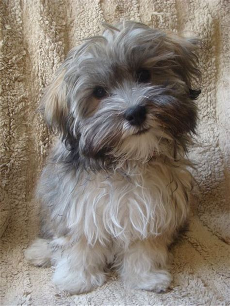 dogs similar to havanese havanese so adorable cutest