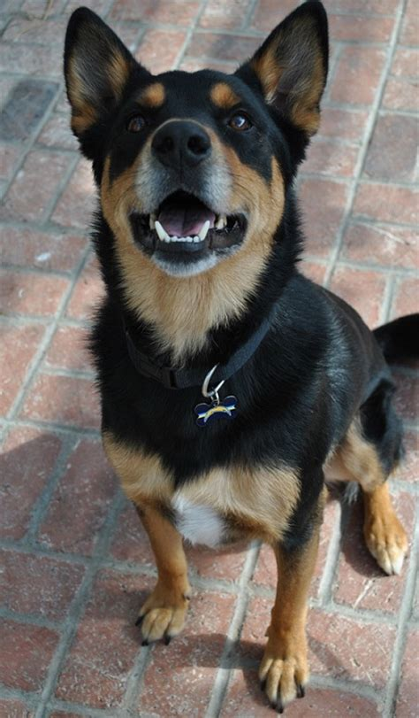 rottweiler shepherd mix puppy 12 rottweiler cross breeds you to see to believe