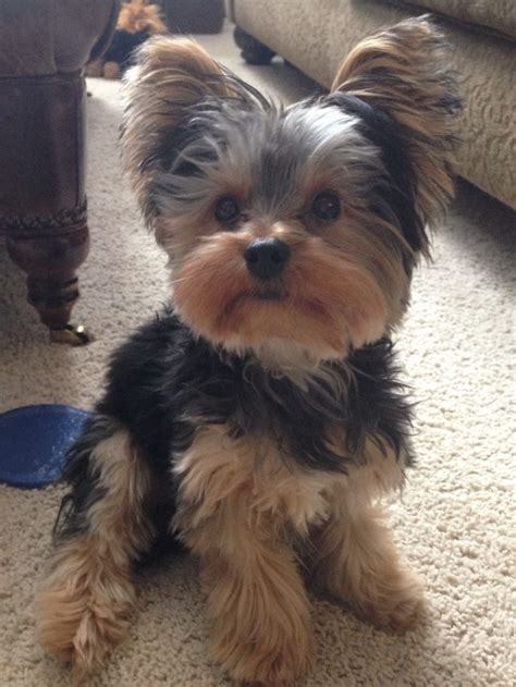 yories with puppy hair cuts 17 best yorkies with full tails undocked yorkies images