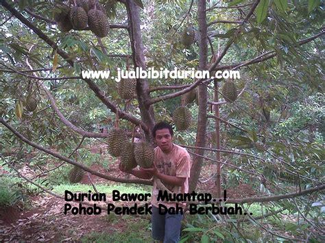 Harga Bibit Durian Terong analisa usaha budidaya durian bibit durian montong