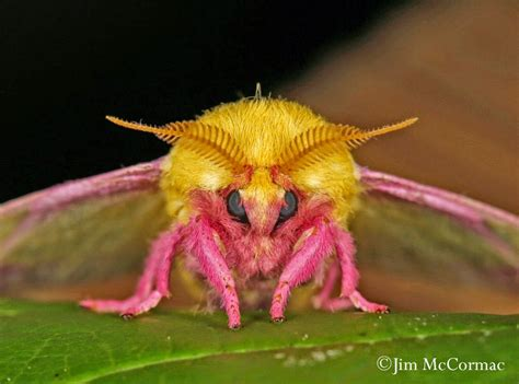 colorful moths colorful camouflage rosy maple moth