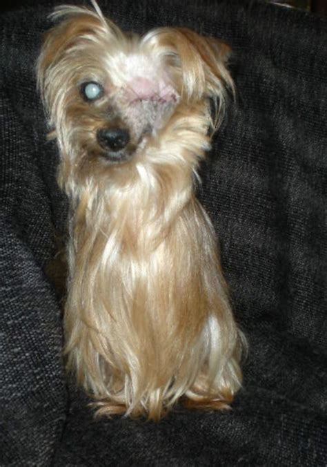 are yorkies color blind cleo s web page