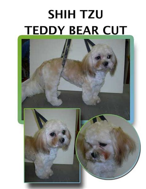 teddy shih tzu cut shih tzu teddy cut