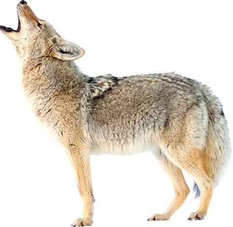 Coyote Research Paper by Coyote Research Project
