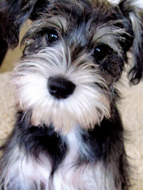 mini schnauzer haircut puppies pinterest a month 47 best oodle of schnoodle golden doodle labradoodke