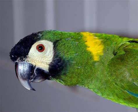 tao yellow collared mini macaw flickr photo sharing