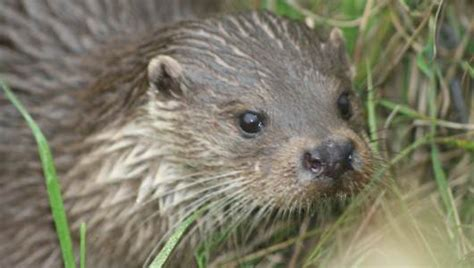 amazing facts about otters onekindplanet animal