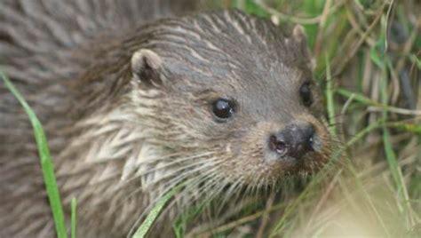 amazing facts about otters onekindplanet animal