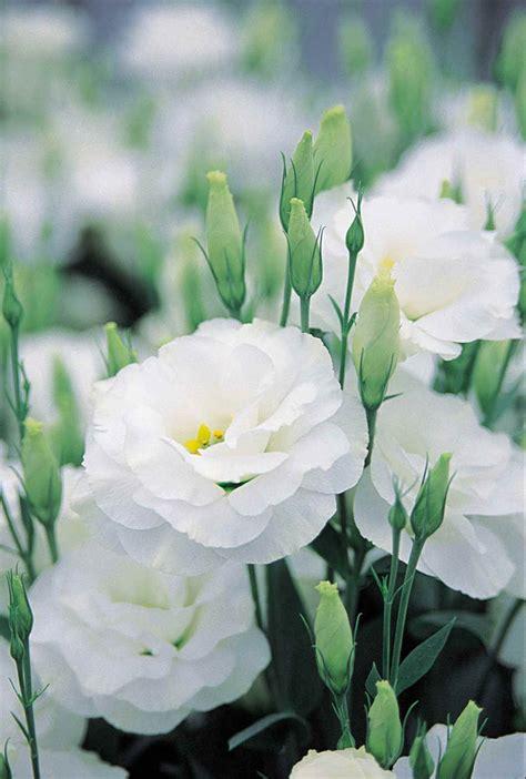 simple petals floral dreams lisianthus