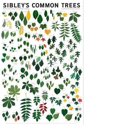 tree species guide sibley s common trees of eastern america poster