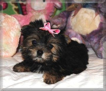 where to find teacup yorkies for sale best 25 teacup yorkies for sale ideas on