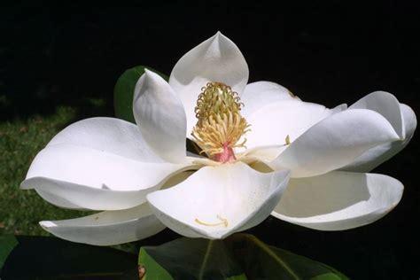 immagini magnolia fiore fiori magnolia fiori delle piante