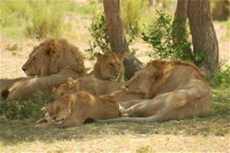 imagenes leones apareandose animales en video leones jugando al rubgy animales en video