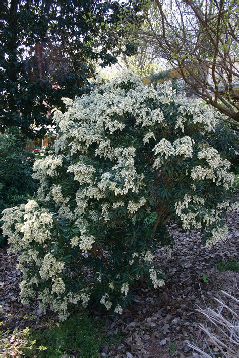 flowering evergreen shrubs for shade shrubs for shade casual cottage