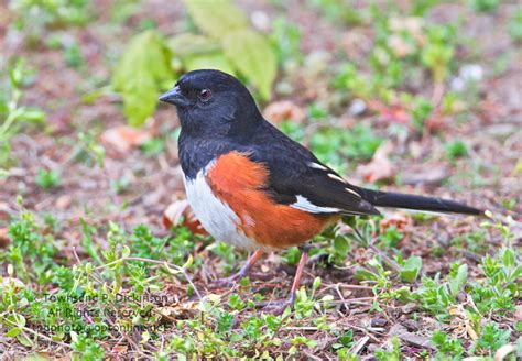 Bird Feeders Connecticut Eastern Towhee Early Migrant Foraging On Ground