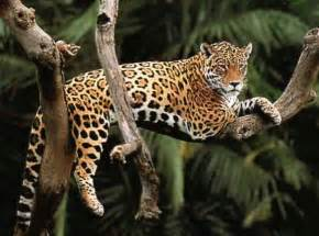 Jaguars Rainforest Top 10 Facts About Jaguars Rainforest Cruises