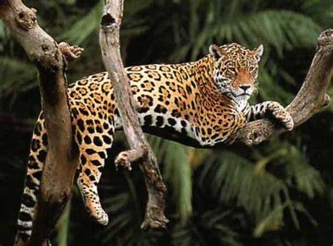 jaguars rainforest top 10 facts about jaguars rainforest cruises