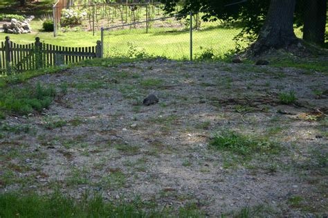 i have a groundhog in my backyard oh great i have a family of groundhogs in my yard ars