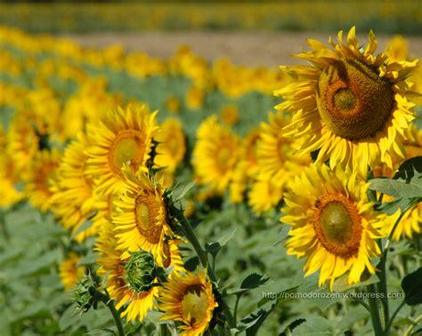 immagini di fiori per desktop sfondi desktop fiori
